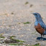 Blue rock-thrush, male (Monticola solitarius philippensis) | Blåtrast, hane: Miyajima Island, Hiroshima, Honshu, Japan [2018]Lat: 34.295888N, Long: 132.319229E Copyright © All rights reserved. Kristian Adolfsson / www.adolfsson.photo