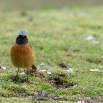 Daurian Redstart, male (Phoenicurus auroreus) | Svartryggad rödstjärt, hane: Central Park in Hiroshima, Honshu, Japan [2018]Lat: 34.402211N, Long: 132.453377E Copyright © All rights reserved. Kristian Adolfsson / www.adolfsson.photo
