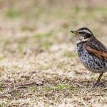 Dusky Thrush (Turdus eunomus) | Bruntrast: Hiroshima Castle, Hiroshima, Honshu, Japan [2018]Lat: 34.401953N, Long: 132.459583E Copyright © All rights reserved. Kristian Adolfsson / www.adolfsson.photo