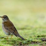 Pale Thrush (Turdus pallidus) | Amurtrast: Hiroshima Castle, Hiroshima, Honshu, Japan [2018]Lat: 34.401953N, Long: 132.459583E Copyright © All rights reserved. Kristian Adolfsson / www.adolfsson.photo